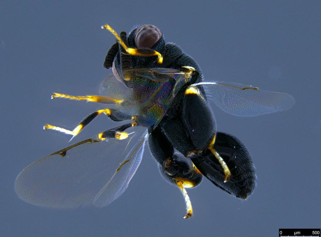 17b - Chalcidoidea sp.