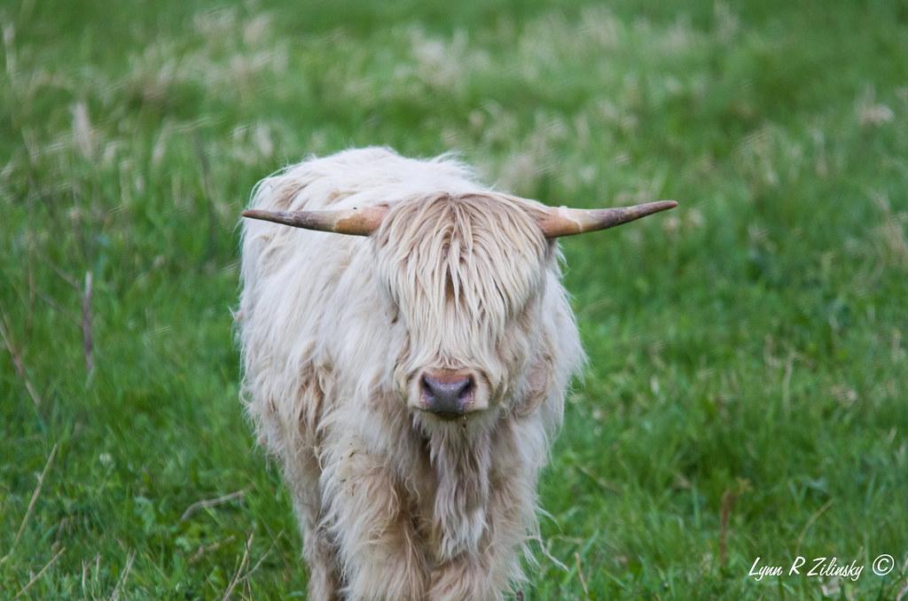 521_0229 Highland Cow  Highland Spring Farm, 2586 Lalor Road, Oregon, WI