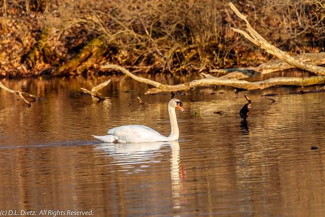 Mute Swan - 2020-04-04