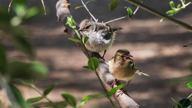 Maman pinson et son bébé ❤️