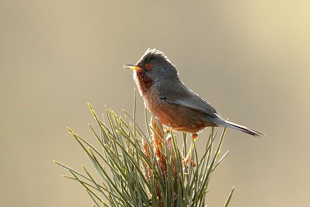 bird Dartford A_001_24-04-21