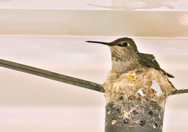 2nd Hummingbird to build her nest on our porch light..