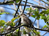 Purdown Spotted Flycatcher (09/05/21)