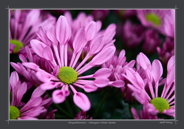 Chrysanthemums - Whanganui Winter Garden