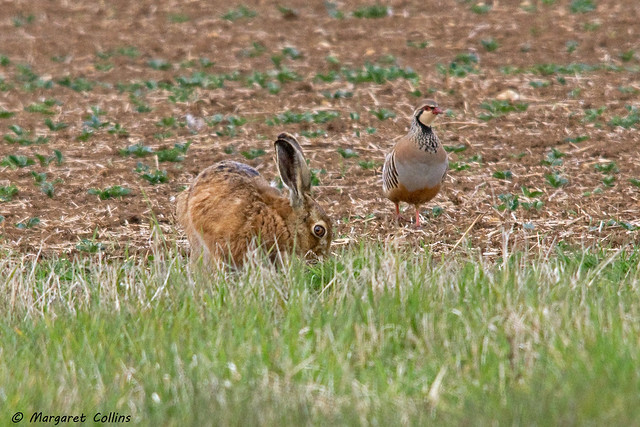 Brown Hare & Partridge 2