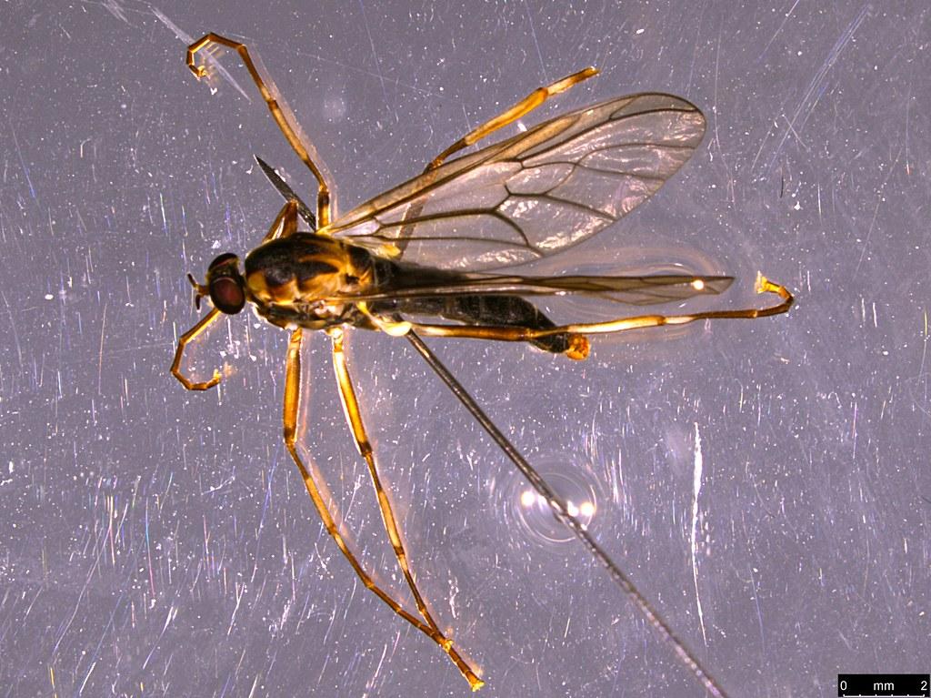 8b - Boreoides sp.