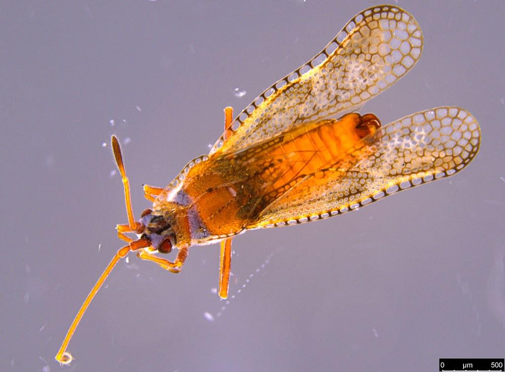 14a - Ulonemia burckhardti Péricart, 1992