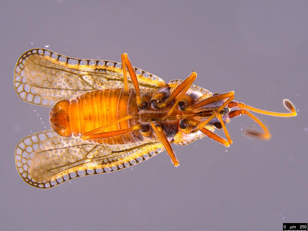 14c - Ulonemia burckhardti Péricart, 1992