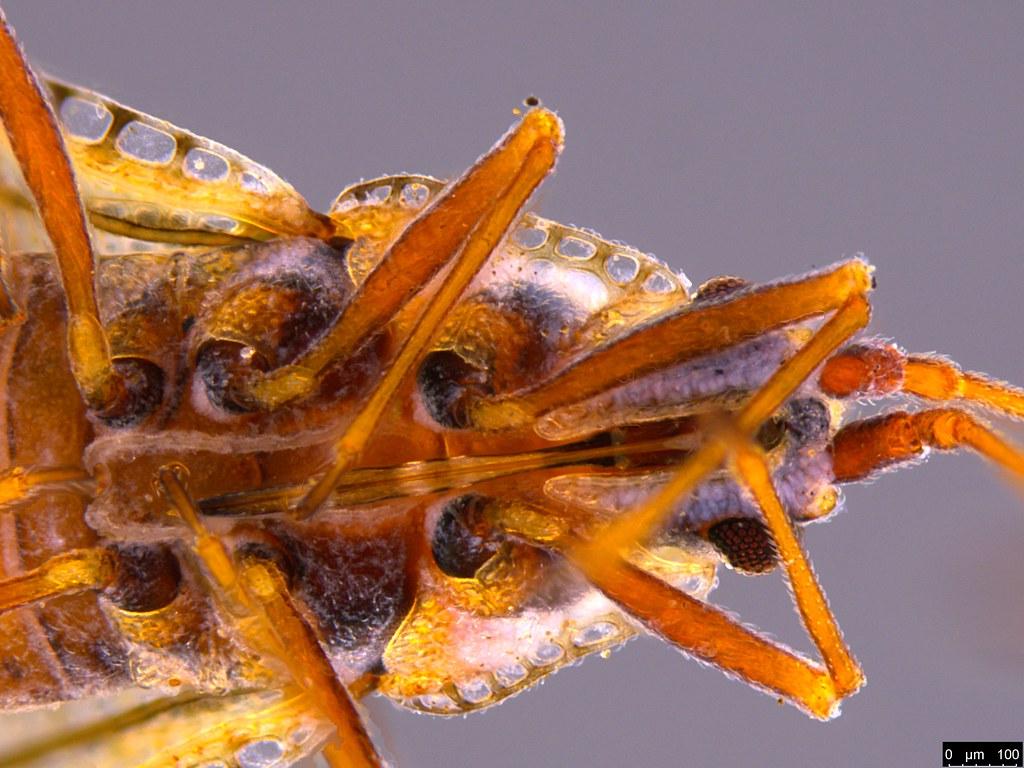 14e - Ulonemia burckhardti Péricart, 1992