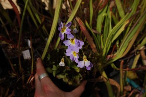 pinguicula primuliflora avril21 (2)