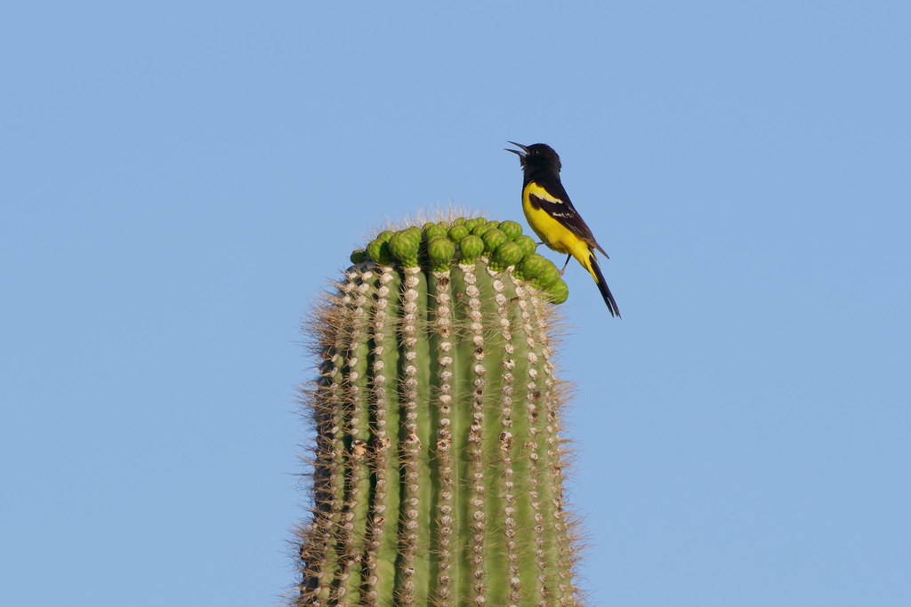 A male Scott's oriole sings from his perch atop the flower buds of a saguaro on the Rustler Trail in McDowell Sonoran Preserve in Scottsdale, Arizona on May 2, 2021. Original: _RAC8508.arw