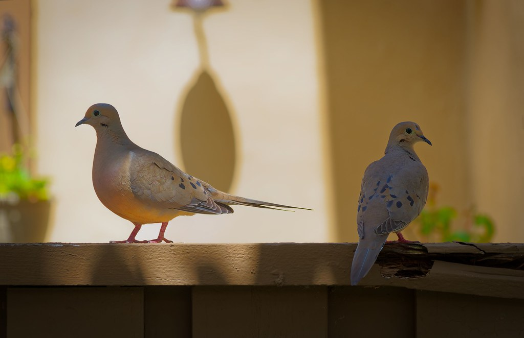 Doves on a Fence
