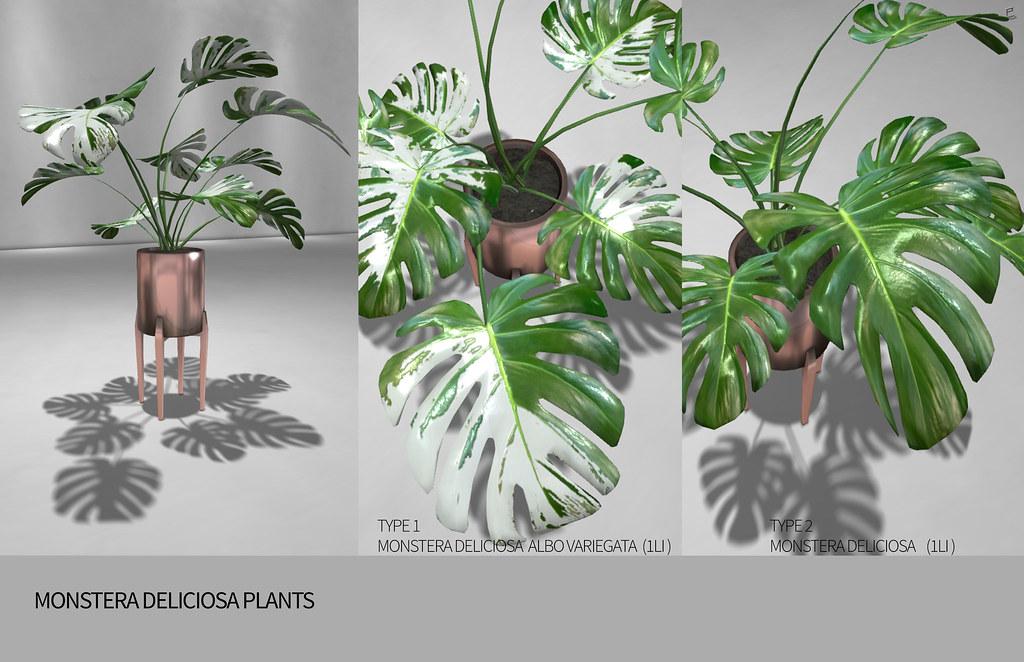MONSTERA DELICIOSA  PLANTS