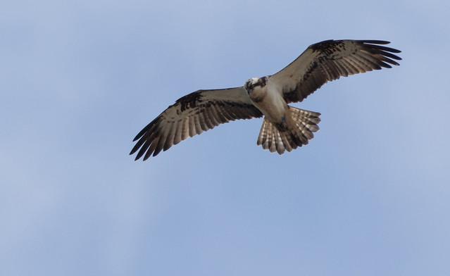 Osprey - Moray Firth