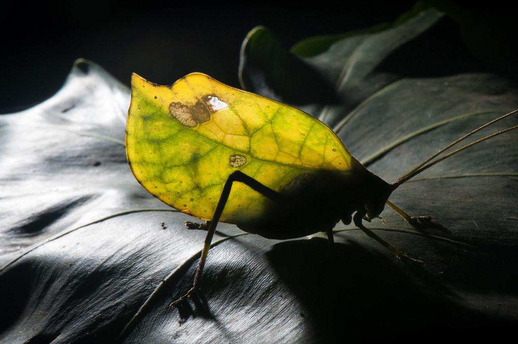 Leaf-mimicking Katydid (Tettigoniidae)