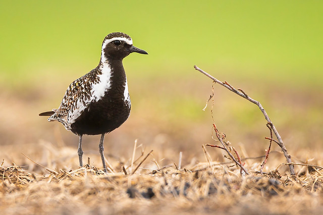Big Day Pacific Golden Plover (Male)
