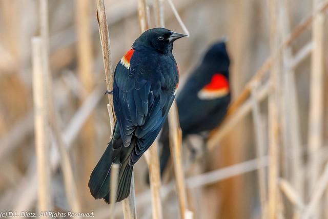 Red-Winged Blackbird #1 - 2019-04-13