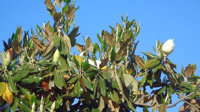 5_Magnolia