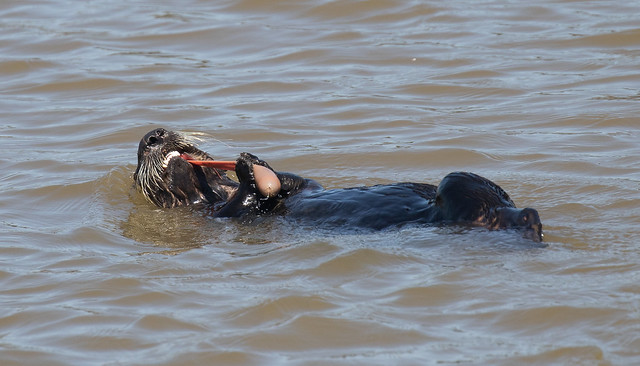 Squeezy goodness. Southern Sea Otter eating Fat Inkeeper Worm