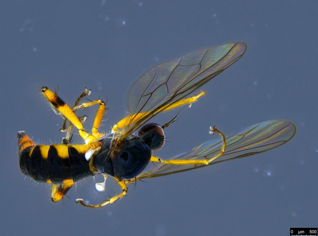 6c - Diptera sp.