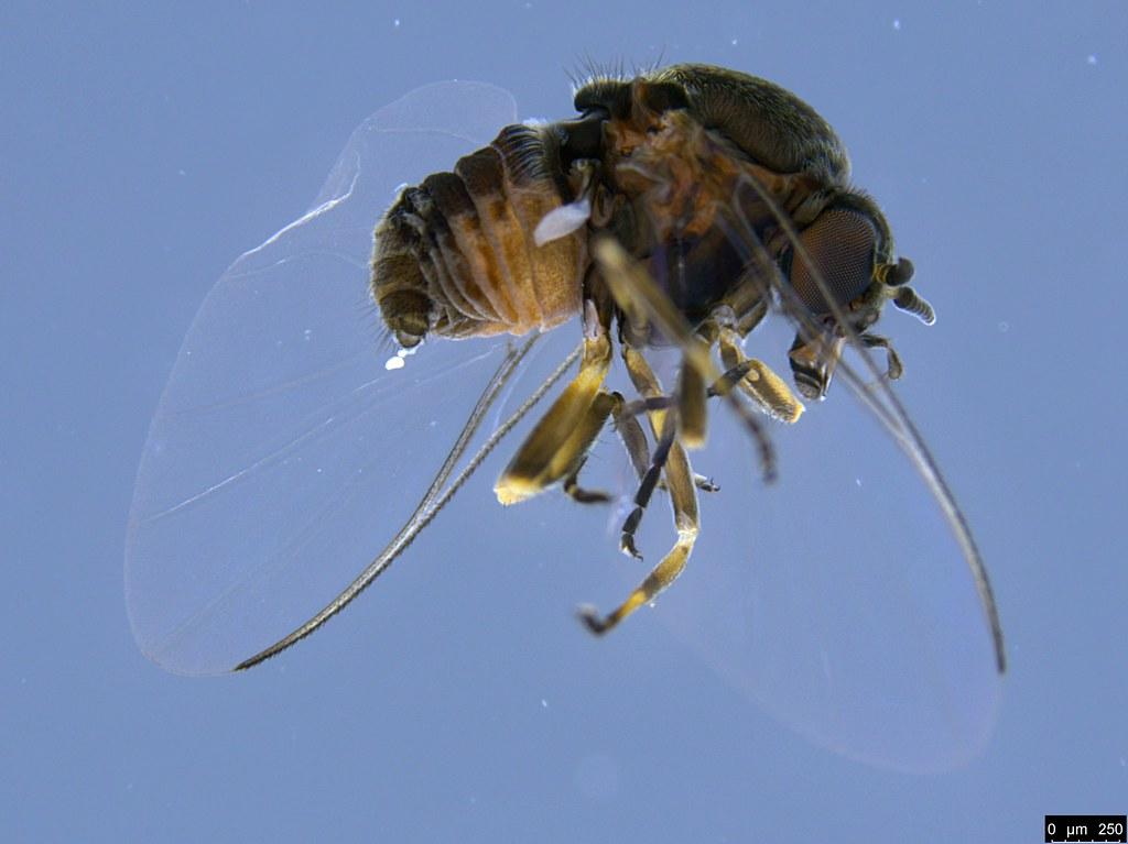 9 - Simuliidae sp.