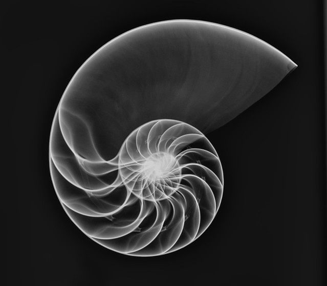 Pearly Screw Conch Shell X-ray