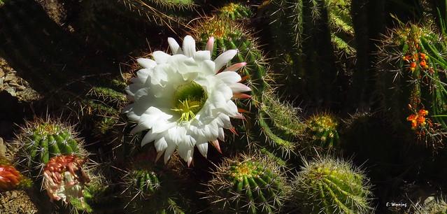 White flower of Cereus cactus 0031