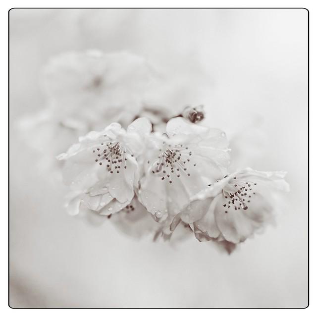 210411 Sakura 564 (mono edit) SFX - Flickr
