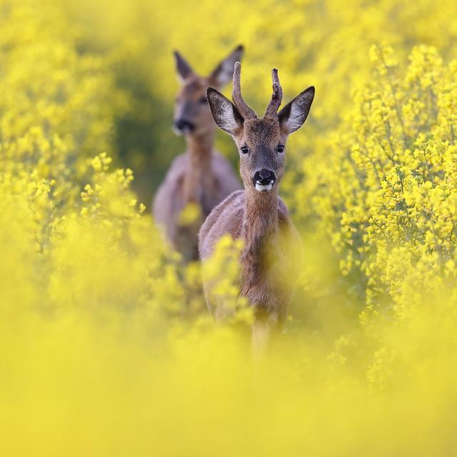 Roe Deer & Yellow (Explored)