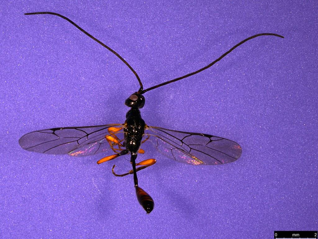 27a - Monomachus antipodalis Westwood , 1874