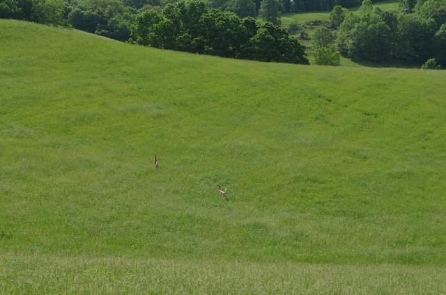 Whitetails Running Across an Open Field in West Virginia
