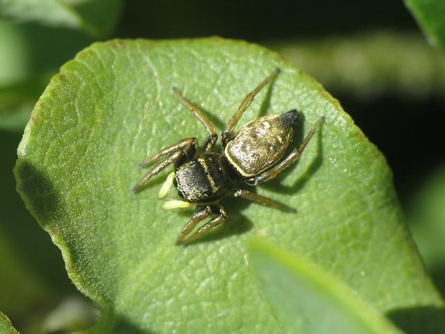 Heliophanus sp. (Salticidae - Jumping Spiders)
