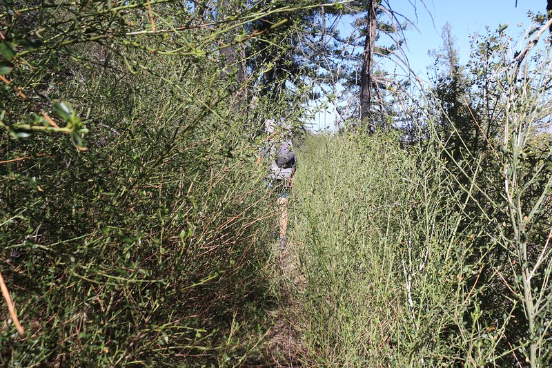 Pushing through overgrown chaparral bushes. We were almost sorry that we had left the road.