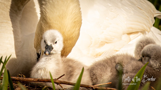 The Cygnets have arrived
