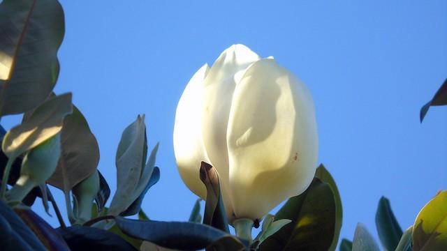6_Magnolia