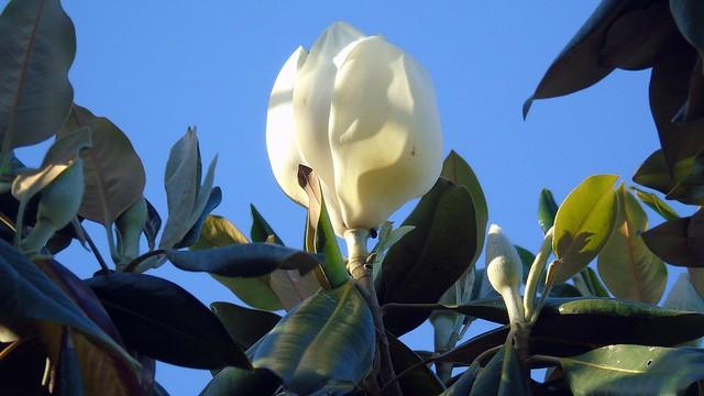 1_Magnolia