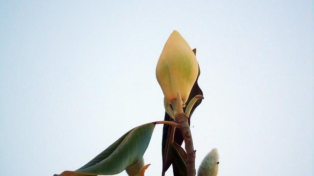8_Magnolia