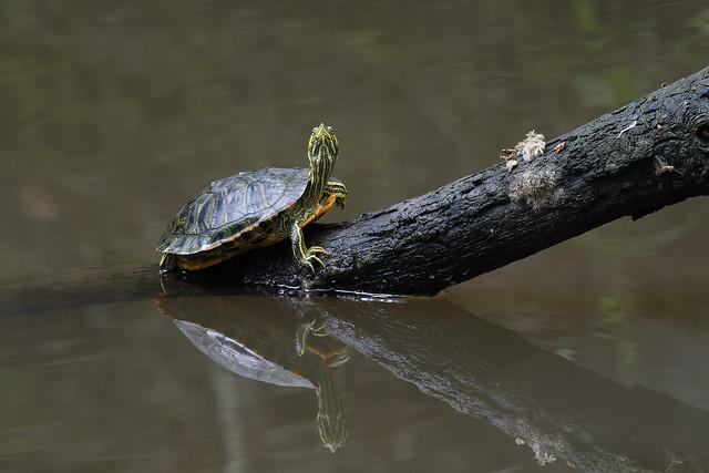 Son altesse la tortue