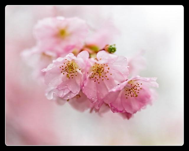 210411 Sakura 564 (color edit) - Flickr