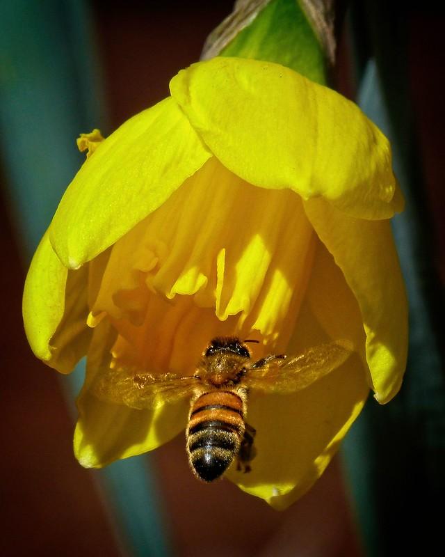 Honey bee investigates daffodil