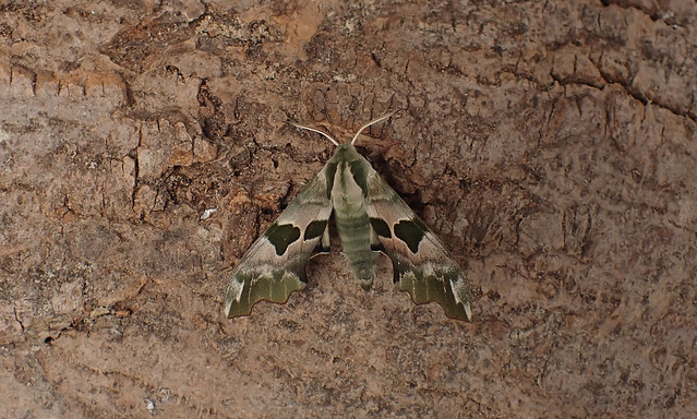 Lime Hawk-moth (Mimas tilae)