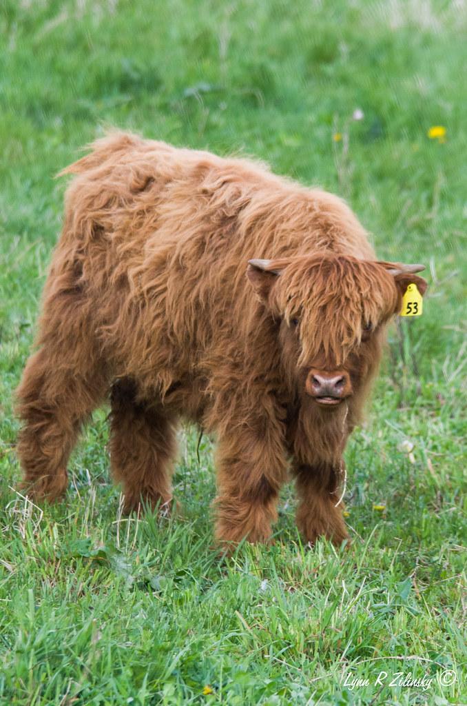 521_0221 Highland Cow  Highland Spring Farm, 2586 Lalor Road, Oregon, WI