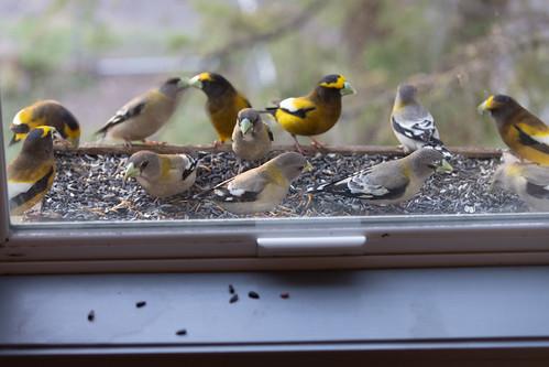 Evening Grosbeaks in my window feeder