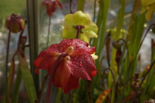 fleur sarracenia avril21 (1)