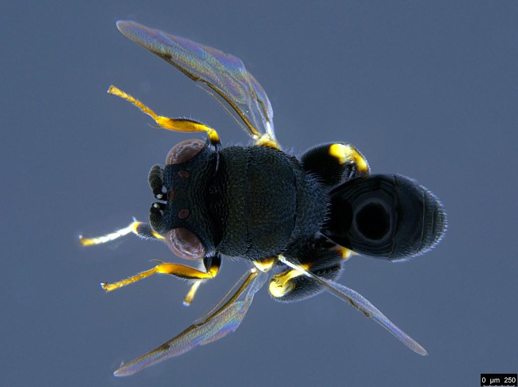 17a - Chalcidoidea sp.