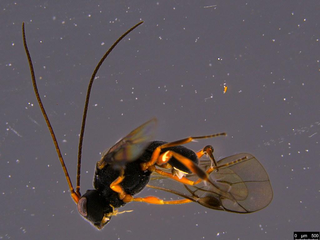 19b - Cheloninae sp.