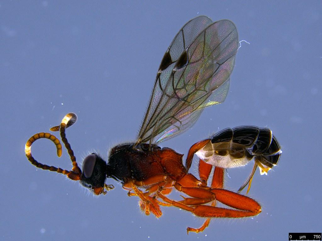 20 - Phygadeuontini sp.
