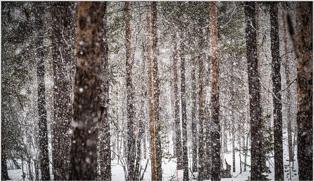 snowfall in taiga forest