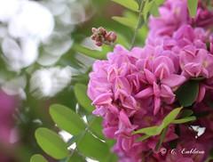 Purple Robe Locust