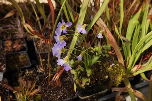 pinguicula primuliflora avril21 (1)
